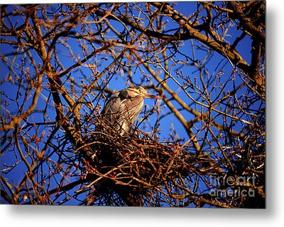 Metal Print featuring the photograph Great Blue Heron Nesting 2017 - 4 by Terry Elniski