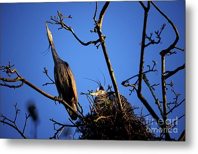 Metal Print featuring the photograph Great Blue Heron Nesting 2017 - 5 by Terry Elniski
