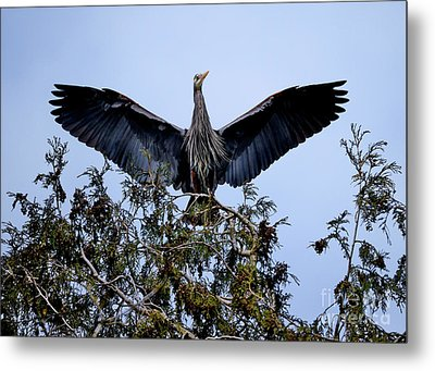 Metal Print featuring the photograph Great Blue Heron Nesting 2017 - 7 by Terry Elniski