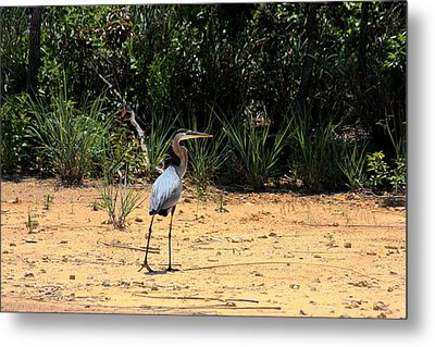 Metal Print featuring the photograph Great Blue Heron On Beach by Sheila Brown