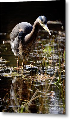 Metal Print featuring the photograph Great Blue Heron On The Hunt 2 by Terry Elniski