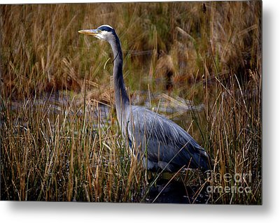 Metal Print featuring the photograph Great Blue Heron On The Hunt 3 by Terry Elniski