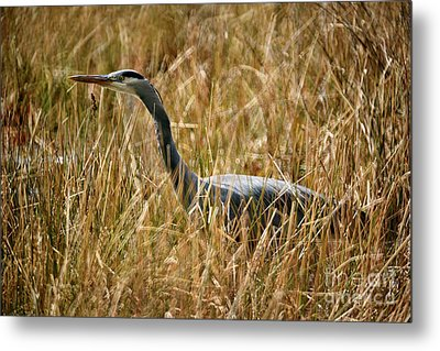 Metal Print featuring the photograph Great Blue Heron On The Hunt 4 by Terry Elniski