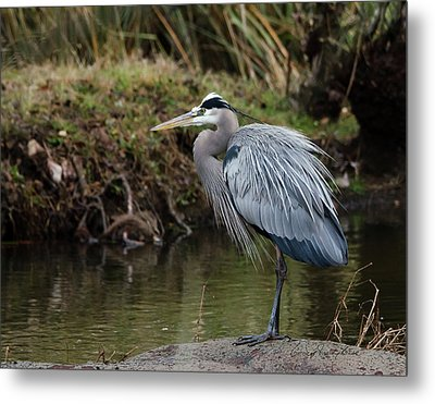 Metal Print featuring the photograph Great Blue Heron On The Watch by George Randy Bass