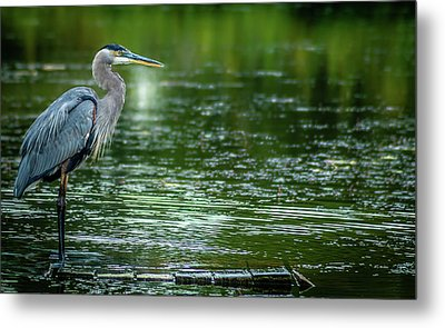 Great Blue Heron Metal Print by Optical Playground By MP Ray