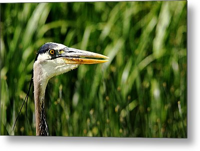 Metal Print featuring the photograph Great Blue Heron Portrait by Debbie Oppermann