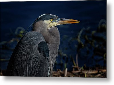 Metal Print featuring the photograph Great Blue Heron by Randy Hall