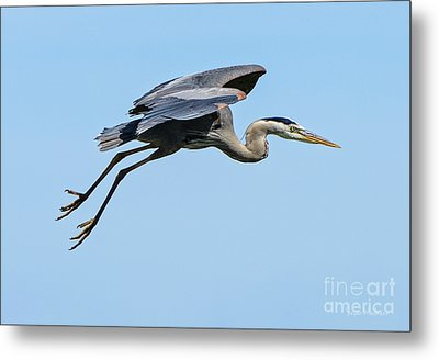 Metal Print featuring the photograph Great Blue Heron Rising by Susan Wiedmann