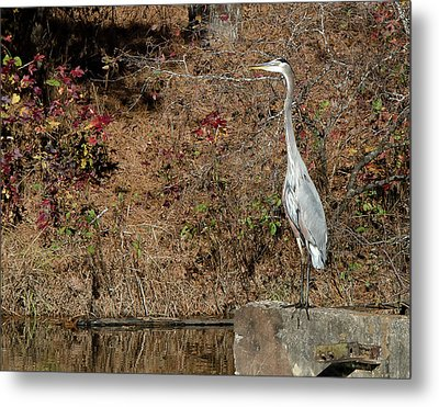 Metal Print featuring the photograph Great Blue Heron Standing Tall by George Randy Bass