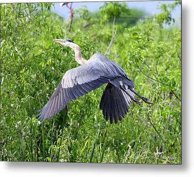 Metal Print featuring the photograph Great Blue Heron Takeoff by Barbara Bowen