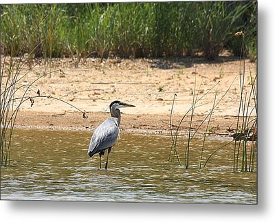 Metal Print featuring the photograph Great Blue Heron Wading by Sheila Brown
