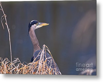 Metal Print featuring the photograph Great Blue Heron Waiting by Sharon Talson
