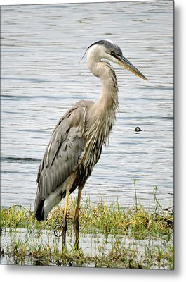 Metal Print featuring the photograph Great Blue Heron by William Albanese Sr