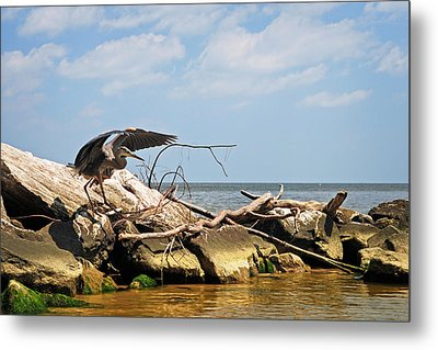 Great Blue Heron Wings Outstretched Metal Print by Rebecca Sherman