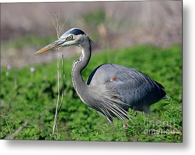 Great Blue Heron Metal Print by Wingsdomain Art and Photography