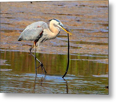 Metal Print featuring the photograph Great Blue Heron Wrestles A Snake by Barbara Bowen