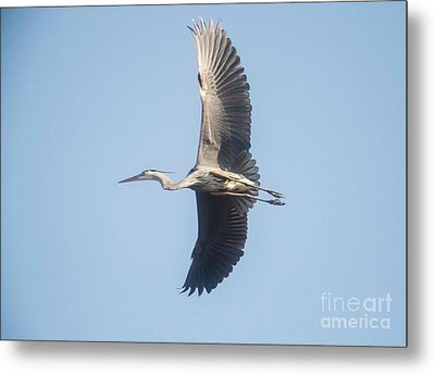 Metal Print featuring the photograph Great Blue On Final by David Bearden