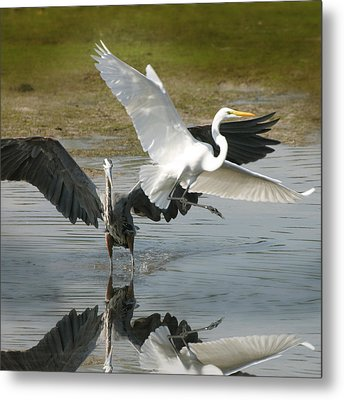 Great Blue Vs. Great White Egret Metal Print by Joseph G Holland