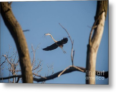 Metal Print featuring the photograph Great Blues Nesting by David Bearden
