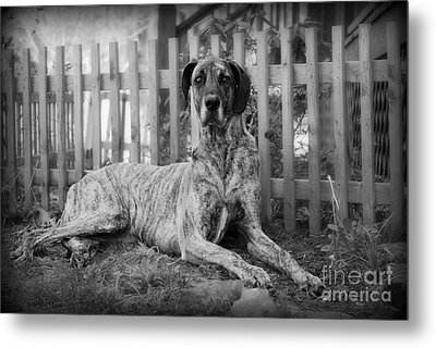 Metal Print featuring the photograph Great Dane Rufus by Lila Fisher-Wenzel