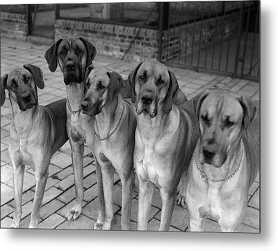 Great Danes Metal Print by Fox Photos