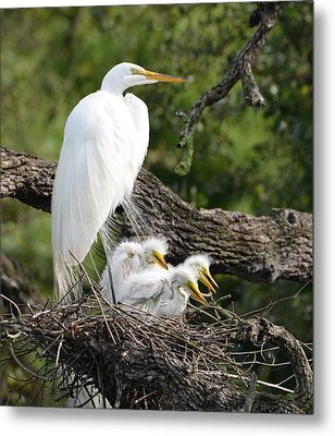Great Egret Family  Metal Print by Richard Bryce and Family