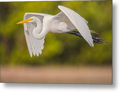 Great Egret Folded Wings Metal Print by Andres Leon
