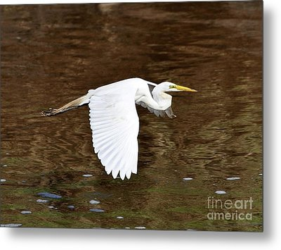 Great Egret In Flight Metal Print by Al Powell Photography USA