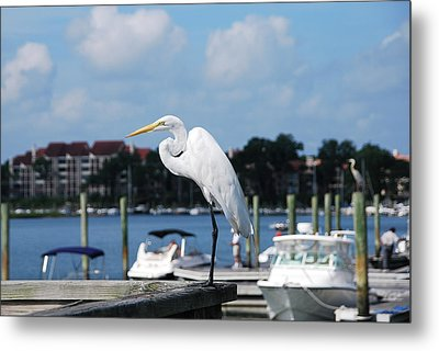 Metal Print featuring the photograph Great Egret by Margaret Palmer