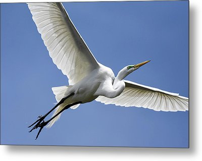 Great Egret Soaring Metal Print