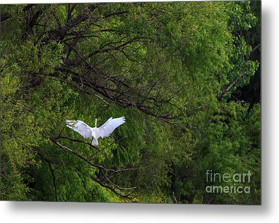 Great Egrets In The Shore Metal Print