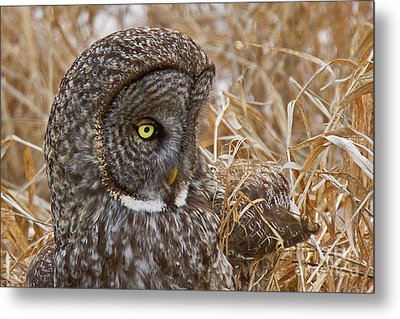 Great Gray On The Hunt I Metal Print