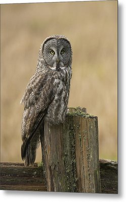Great Gray Owl Metal Print by Doug Herr