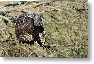 Great Grey Flying Metal Print by Torbjorn Swenelius