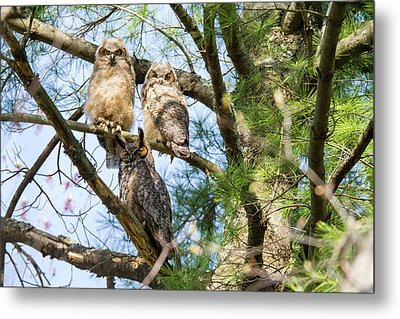 Great Horned Owl Family Metal Print