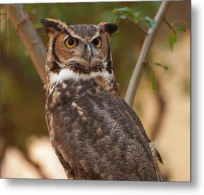 Great Horned Owl In A Tree 3 Metal Print by Chris Flees