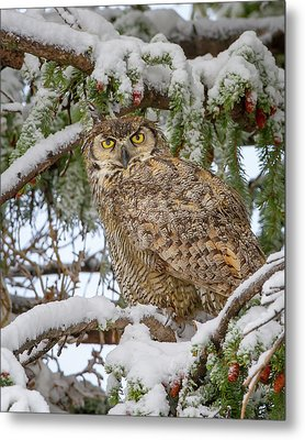 Great Horned Owl In Snow Metal Print by Jack Bell