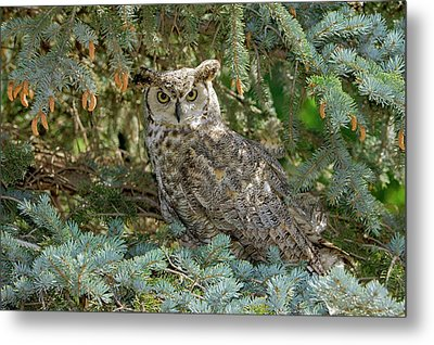 Great Horned Owl Metal Print by James Steele