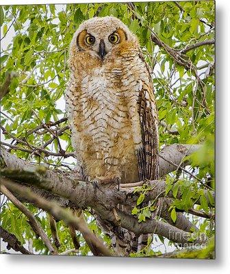 Great Horned Owlet Metal Print by Ricky L Jones