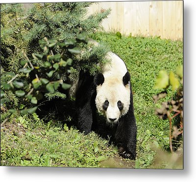 Great Panda Iv Metal Print by Keith Lovejoy