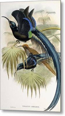 Great Sickle-billed Bird Of Paradise Metal Print by John Gould