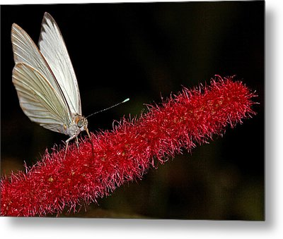 Metal Print featuring the photograph Great Southern White by Judy Vincent