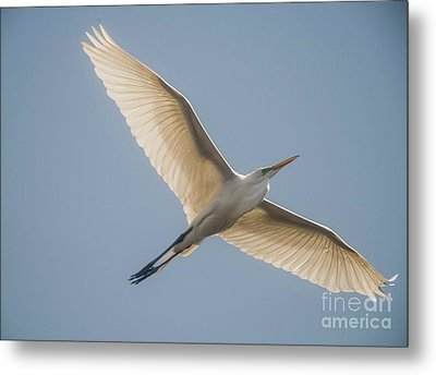 Metal Print featuring the photograph Great White Egret by David Bearden