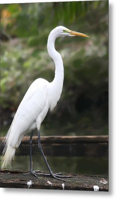 Great White Egret Metal Print by Diane Merkle