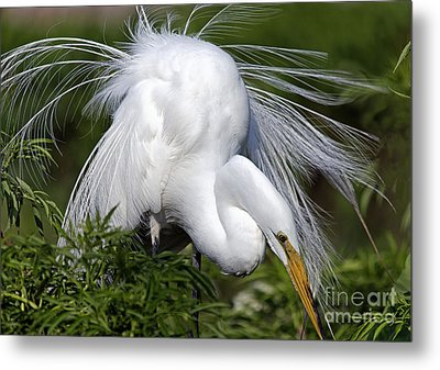 Great White Egret Displaying Plumage Metal Print by Mary Lou Chmura