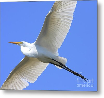Great White Egret In Flight . 40d6850 Metal Print by Wingsdomain Art and Photography