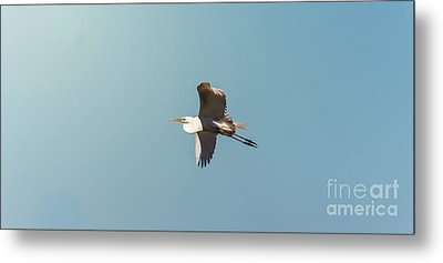 Metal Print featuring the photograph Great White Egret In Flight by Robert Frederick