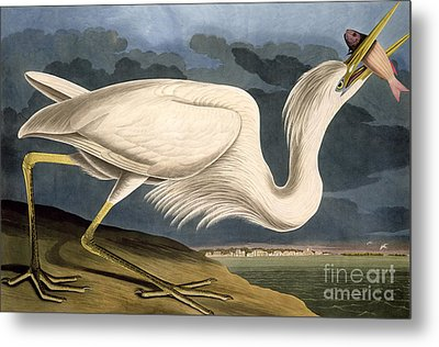 Great White Heron Metal Print by John James Audubon