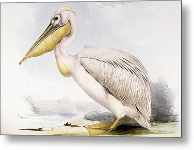 Great White Pelican Metal Print by Edward Lear