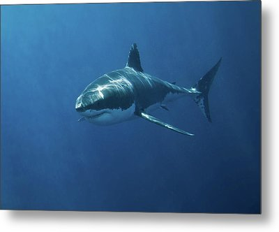 Great White Shark Metal Print by John White Photos